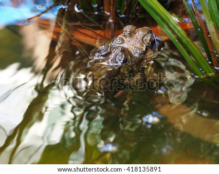 Toads mating.mating Common toads in nature water.breeding frogs making eggs in water.Amphibious animals/Frog species/the frogs.Old World flying frog/Golden Tree Frog/Squirrel Tree Frog Closeup. - stock photo