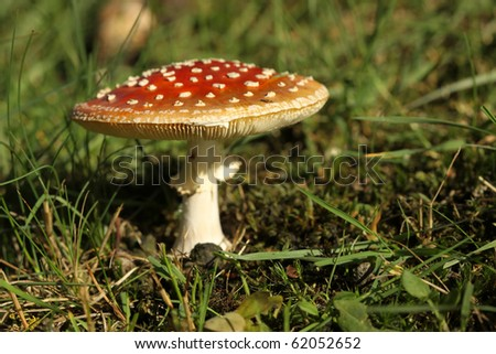 Toadstool in the grass