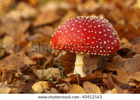 Toadstool surrounded by fallen leafs