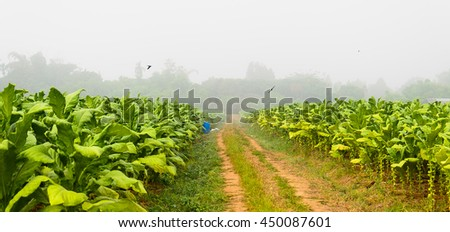 tobacco - stock photo