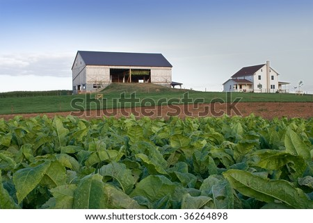 Tobacco and Drying Barn - stock photo