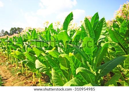 Tobacco farm - stock photo