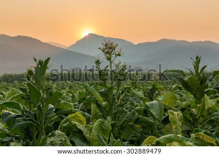 Tobacco farm in countryside with mountain range and sunrise in the background - stock photo
