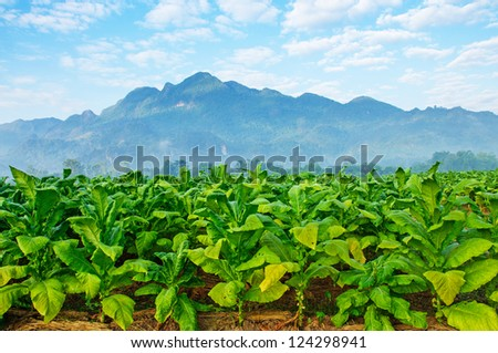 Tobacco farm in morning. - stock photo