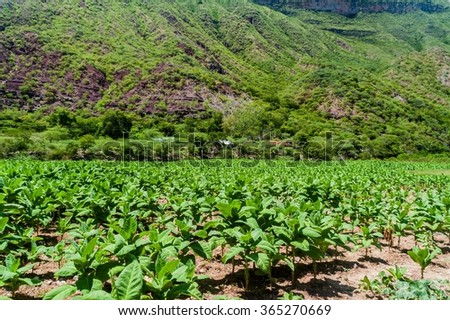 Tobacco farm in Santander department of Colombia