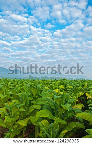 Tobacco farm in white cloud and blue sky. - stock photo