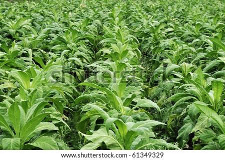 tobacco farming in indian state karnataka - stock photo