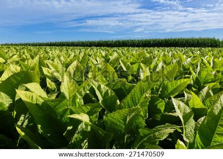 Tobacco Field. - stock photo