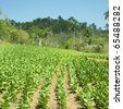 tobacco field, Pinar del Rio Province, Cuba - stock photo