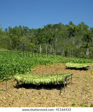 tobacco field, Pinar del Rio Province, Cuba - stock photo
