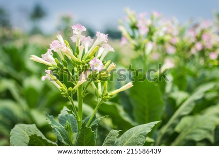 Tobacco Flowers In Farm Plant Of Thailand - stock photo