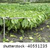 tobacco harvest, Ciego de Avila Province, Cuba - stock photo