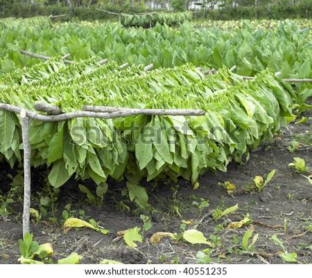 tobacco harvest, Ciego de Avila Province, Cuba - stock photo