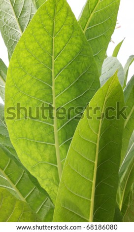 Tobacco leaf - stock photo