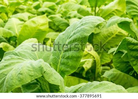 Tobacco leaf. Close up of green leaf tobacco in blurred tobacco plantation field background, Germany - stock photo