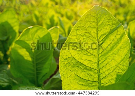 Tobacco leaf on blurred tobacco plantation field background at sunset, close up - stock photo