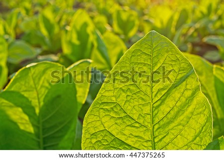Tobacco leaf on blurred tobacco plantation field background  at sunset, selective focus - stock photo