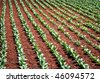 tobacco leafs - stock photo