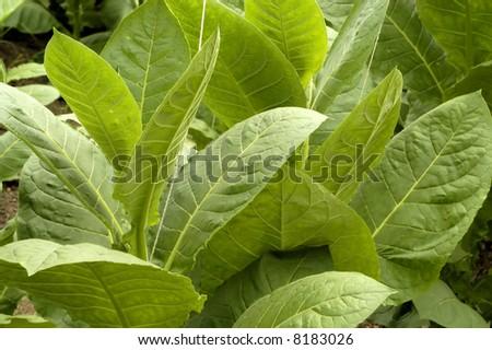 Tobacco leafs at a plantation at Cuba - stock photo