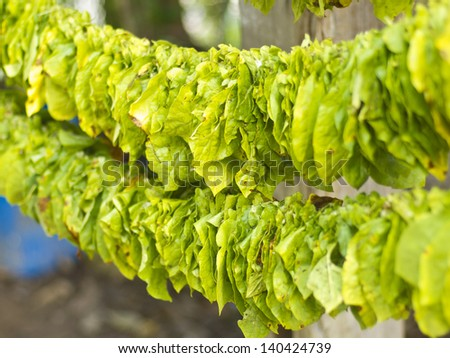 tobacco leaves in process to make them dry, traditional preparation in thailand - stock photo