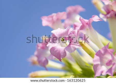 Tobacco pink flowers - stock photo