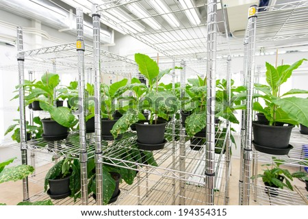 Tobacco plant for disease testing.  - stock photo