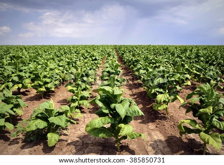 Tobacco plant in the field ,dramatic sky - stock photo