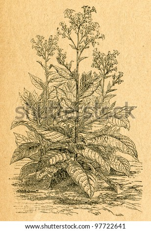 Tobacco plant - old illustration by unknown artist from Botanika Szkolna na Klasy Nizsze, author Jozef Rostafinski, published by W.L. Anczyc, Krakow and Warsaw, 1911 - stock photo