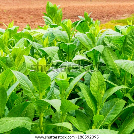 Tobacco plantation at the Vinales Valley in Cuba - stock photo