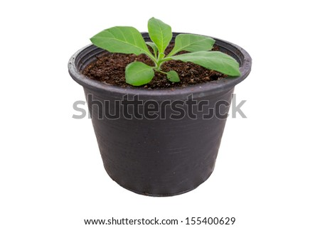 Tobacco young plant isolate on white background. - stock photo
