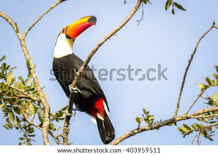 Toco Toucan resting on branch - stock photo