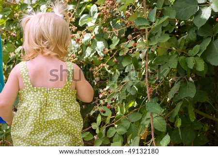 Toddler picking fresh raspberries from a bush - stock photo