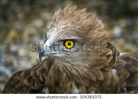 Toed Eagle. Circaetus gallicus, close-up of the eagle. - stock photo