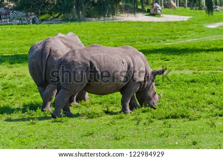 Together. Back view of two rhinos