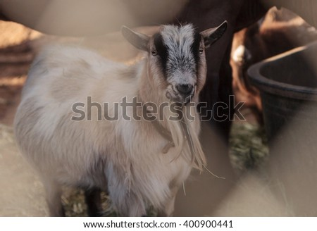 Toggenburg goat eats hay next to his horse companion at a barn. - stock photo