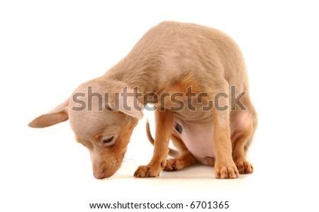 Toi doggy on a white background - stock photo