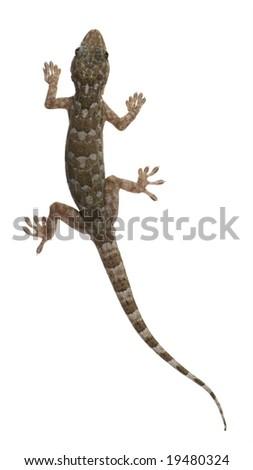 Tokay gecko - Gekko gecko in front of a white background - stock photo