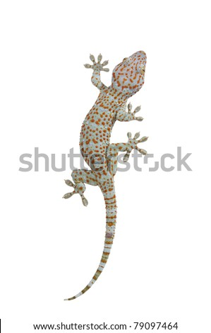 Tokay gecko - Gekko gecko isolated on white background