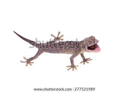 Tokay Gecko isolated on white background - stock photo