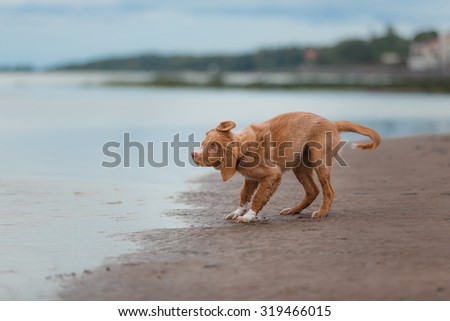 Toller runs on the beach, active playful