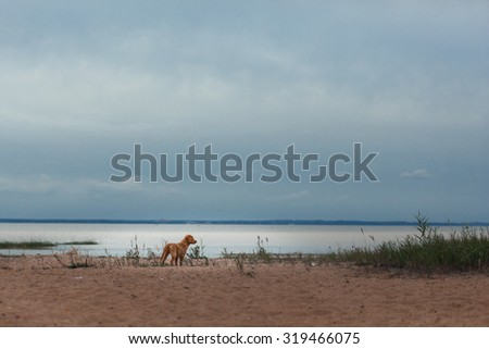 Toller runs on the beach, active playful - stock photo