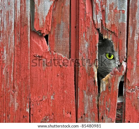 tom cat peeking through old barn siding - stock photo