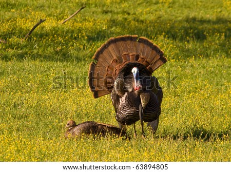 Tom Turkey strutting and displaying in a spring meadow for a potential mate, with tail feathers spread wide and chest out. - stock photo