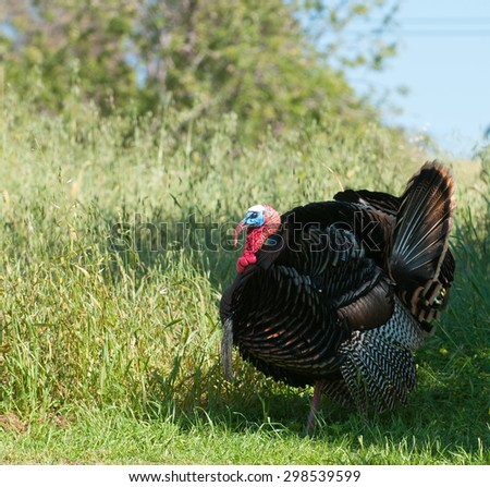 Tom turkey strutting looking for a mate in the spring