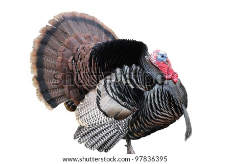 Tom Turkey With Fanned Tail Feathers On White Background