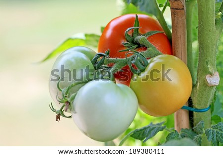 Tomato bunch.  A group of four vine Tomatoes in Red, Green, White, and Yellow. - stock photo