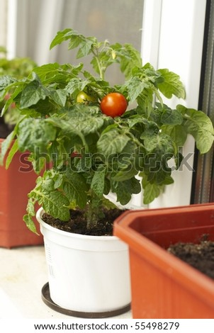 Tomato bush - stock photo
