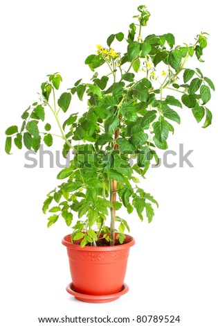 Tomato bush growing in a flower pot isolated on white - stock photo