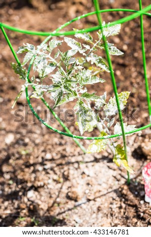 Tomato covered with white organic powder to protect plants from bugs. - stock photo
