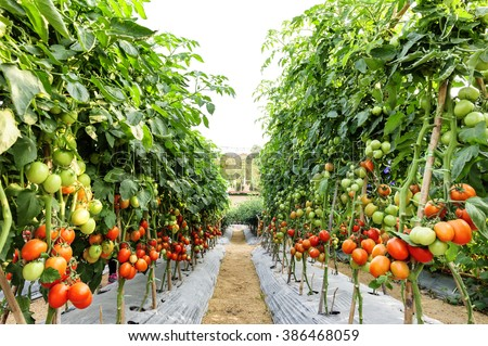 Tomato cultivation asia style. (selective focus) - stock photo